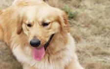 狗狗出现胃扭转症状怎么办?狗狗出现胃扭转症状及治疗
