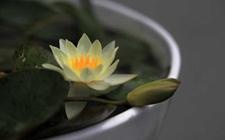 迷你睡莲怎么种?迷你睡莲的种植方法有哪些?