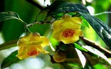 金华茶怎么繁植?金华茶的种植方法有哪些?