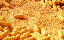 """东北新玉米即将大量上市 农业部唐珂回应""""卖粮难""""风险一事"""