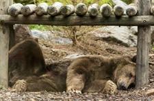<b>俄罗斯远东粮荒严重 饿熊袭人偷庄稼致2人死亡</b>