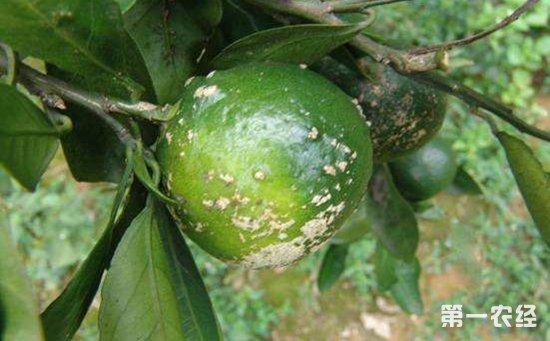 柑橘病害有哪些?柑橘常见病害的危害症状和防治方法