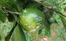 <b>柑橘病害有哪些?柑橘常见病害的危害症状和防治方法</b>