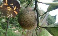 柑橘主要虫害该如何防治?柑橘虫害及防治方法