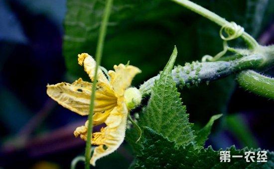黄瓜什么时候种植好?黄瓜的种植时间和方法