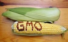 <b>新的转基因玉米或可以变革农业</b>