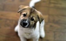狗狗为什么会贫血?狗狗贫血的原因