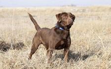 什么是猎枪犬?猎枪犬有哪些种类?