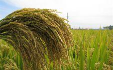 今年以来我国水稻不断创纪录 吸引世界目光