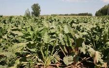 新疆额敏:第一书记助农解决甜菜滞销 挽回60余万元损失