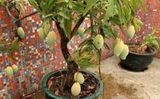 盆栽芒果树如何种植?芒果盆栽的种植技术
