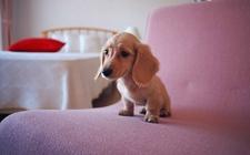 迷你腊肠犬的常见疾病有哪些?迷你腊肠犬的疾病介绍