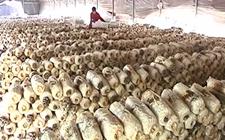 山东黄岛区:食用菌养殖助村两年实现整村脱贫