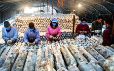 河南宫前乡:反季节香菇助贫困户增收2万元 年产值可达500余万元
