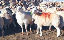 西藏日喀则特有绵羊——岗巴羊
