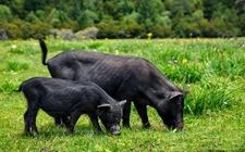 西藏工布江达特产——错高藏香猪