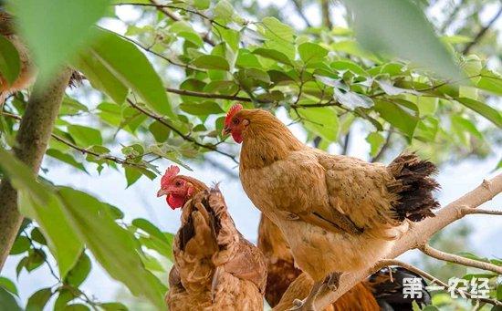 中国最好的土鸡品种是什么?常见的土鸡品种有哪些?