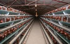 怎样防止鸡舍产生有害气体?鸡舍有害气体防治方法