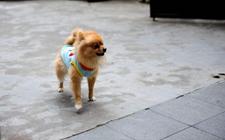 世界上体型最小的狗狗是哪种?世界上最小狗狗品种排行榜