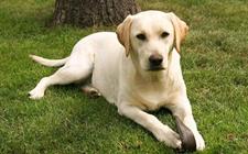 宠物狗拉布拉多犬怎么喂养?小拉布拉多的喂食要点