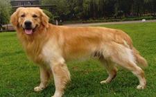 怎样训练宠物狗金毛?枪猎犬之金毛寻回犬训练方法