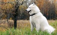 饲养大型犬前需要注意什么?饲养大型犬前需要考虑的问题