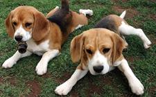 中型犬要怎么养?中型犬的健康饲养管理办法