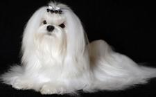 短毛犬和长毛犬应该怎么去梳理毛发?给狗狗梳理毛发的方法