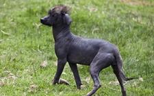 无毛犬的种类有哪些?怎么区分呢?