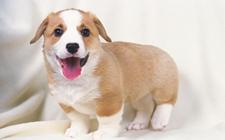 哪些宠物狗比较可爱?最可爱的十种宠物狗种类