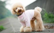 贵宾犬怎么养?最正确的贵宾犬饲养方法