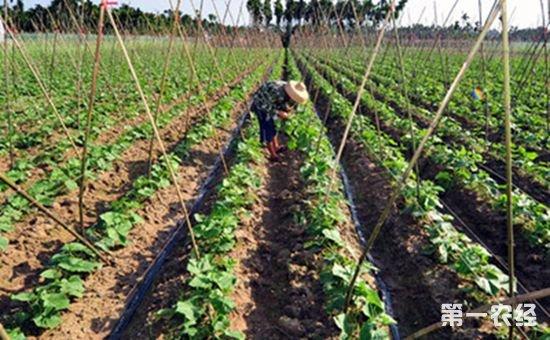 海南三亚:抓好冬种瓜菜好时机 计划种植冬季瓜菜约17万亩