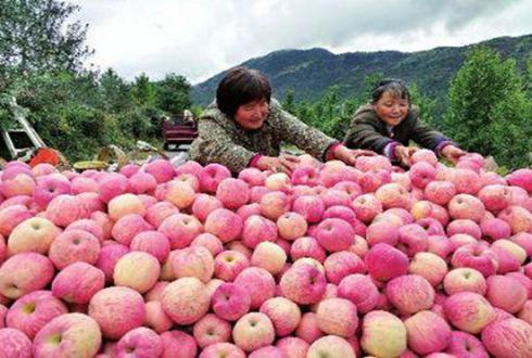"""陕西凤县:苹果成""""金果果"""" 今年产值预计达2.4亿元"""