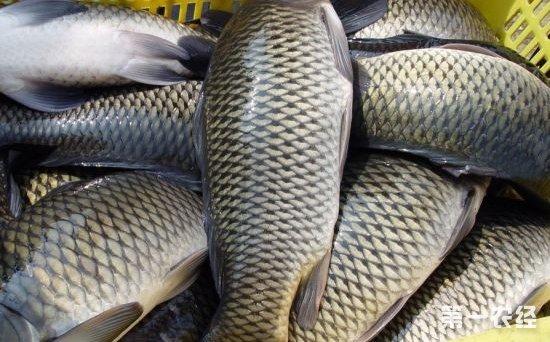 河南万邦:受降雨影响草鱼价格不稳