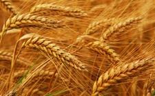 <b>小麦春季容易受哪些害虫的袭击?该如何防治?</b>