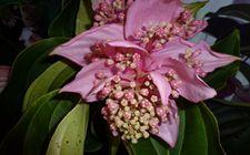 宝莲花有哪些病虫害?宝莲花的病虫害防治方法