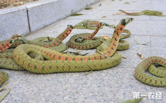 菜花蛇有哪些疾病?该如何防治?