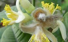 迎春花的病害有哪些?迎春花常见病害的防治方法