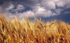 安徽小麦产业体系建议秋种小麦品种