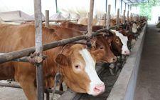 2017养牛补贴政策:对养牛数量没有硬性要求
