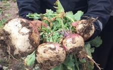 青海玉树特产植物——玉树芫根