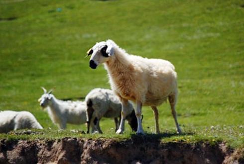 青海海西州特产——乌兰茶卡羊
