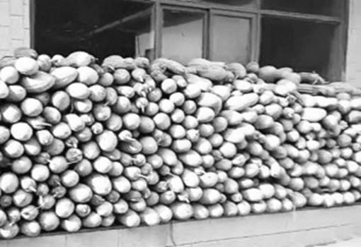 河北灵寿:两万五千斤北瓜滞销 老农发愁愿赔本销售