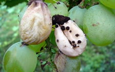 葡萄白腐病怎么防治?葡萄白腐病的危害症状和防治方法
