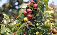 枣树什么时候种植好活?枣树的种植时间和方法