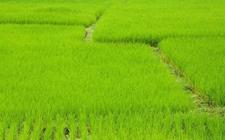 超级杂交稻亩产再创纪录 试验田内亩产1149.02公斤