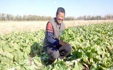 """哈尔滨道里区:""""科学种菜+勤劳热爱""""助力菜农增收致富"""