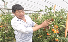 """""""西红柿达人""""余继生:科技种菜是致富关键"""