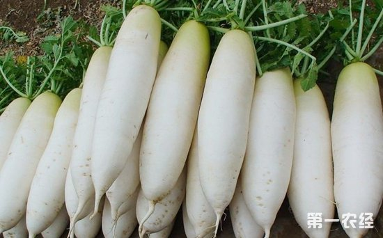 泉州南安:白萝卜大量上市 一斤1.38元-2元