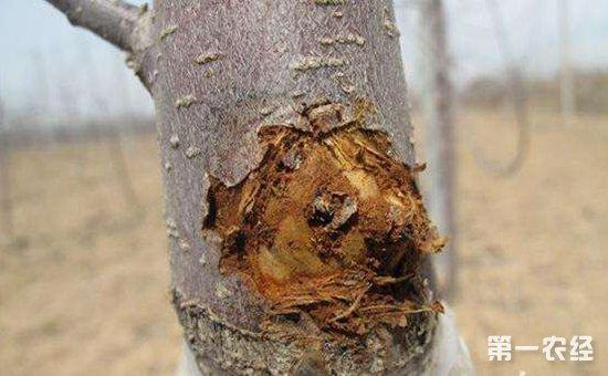 如何防治苹果树腐烂病?苹果树腐烂病的综合防治方法